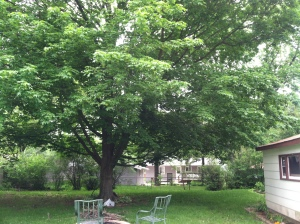Photographic Memory 2. -- The maple tree here in Chicago was two decades younger back then. Sitting under it, I wrote a number of long letters to the loved ones I left behind in Calcutta.