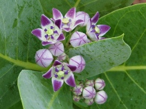 Lord Shiva's favorite flower wild Akanda